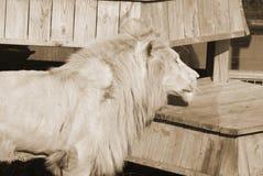 Leone di bianco di Timbavati Fotografia Stock