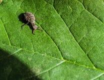 Leone di formica Immagine Stock