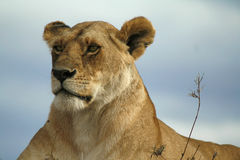 Leone di Mara Immagine Stock