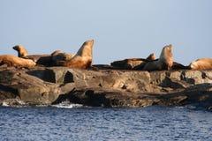 Leone di mare Fotografia Stock
