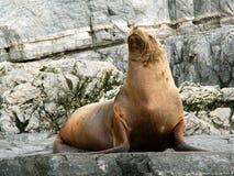 Leone di mare Immagini Stock Libere da Diritti