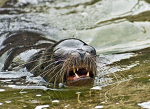Leone di mare aggressivo Fotografie Stock Libere da Diritti
