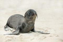 Leone di mare appena nato Immagini Stock