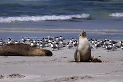 Leone di mare australiano Fotografia Stock