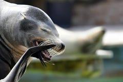Leone di mare che sbadiglia Fotografie Stock Libere da Diritti