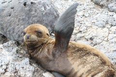 Leone di mare del bambino Fotografia Stock