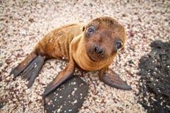 Leone di mare del Galapagos del bambino che esamina la macchina fotografica Fotografie Stock