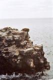 Leone di mare del Galapagos sulla scogliera Immagini Stock