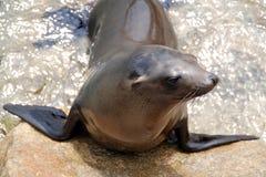 Leone di mare della California Immagine Stock