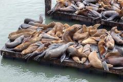 Leone di mare della California (californianus dello Zalophus) immagini stock libere da diritti