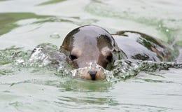 Leone di mare di nuoto Fotografia Stock Libera da Diritti
