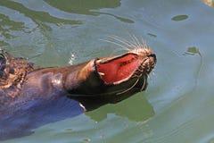 Leone di mare di sbadiglio fotografie stock