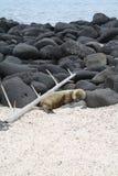 Leone di mare di sonno Fotografie Stock Libere da Diritti