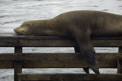 Leone di mare di sonno Fotografia Stock