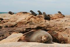 Leone di mare di sonno sulle rocce Immagini Stock