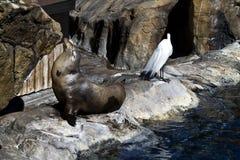 Leone di mare e l'airone fotografia stock