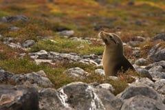 Leone di mare giovanile del Galapagos (wollebaeki dello Zalophus) Immagine Stock