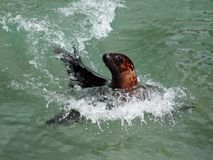 Leone di mare nel movimento fotografie stock