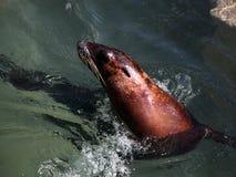 Leone di mare nel movimento Fotografia Stock Libera da Diritti