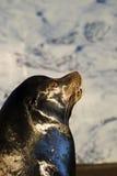 Leone di mare scosso Fotografia Stock Libera da Diritti