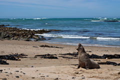 Leone di mare selvaggio che grida. Fotografia Stock