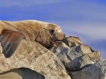 Leone di mare selvaggio di Steller Immagini Stock