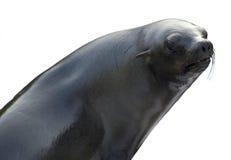 Leone di mare su priorità bassa bianca Immagini Stock Libere da Diritti
