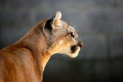 Leone di montagna Fotografia Stock