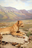 Leone di montagna Fotografie Stock