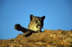 Leone di montagna adulto Fotografia Stock Libera da Diritti
