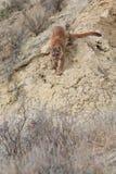 Leone di montagna che cammina giù il burrone ripido fotografia stock libera da diritti
