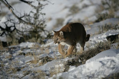 Leone di montagna che cammina nel sagevrush Fotografie Stock