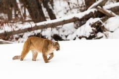 Leone di montagna che cammina nella neve Fotografie Stock Libere da Diritti