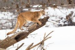 Leone di montagna che riposa sull'albero fotografia stock libera da diritti