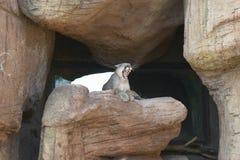 Leone di montagna che si siede sulla roccia nel museo del deserto della Arizona-sonora in Tucson, AZ Fotografia Stock