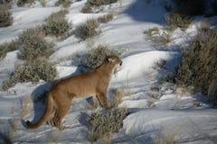 Leone di montagna nel sagebrush Fotografie Stock Libere da Diritti
