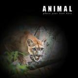 Leone di montagna; puma Immagini Stock Libere da Diritti
