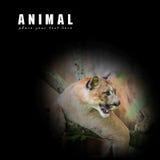 Leone di montagna, puma Fotografia Stock