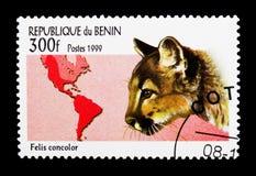 Leone di montagna, puma (concolor) del Felis, serie selvaggio dei gatti, circa 1 Fotografie Stock Libere da Diritti
