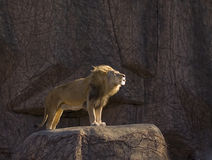 Leone di ringhio che si leva in piedi sulla roccia Fotografie Stock