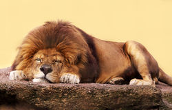 Leone di sonno Fotografia Stock
