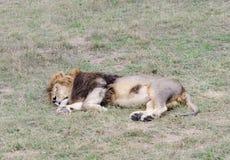 Leone di sonno, Safari Park Taigan (parco) dei leoni, Crimea Fotografia Stock