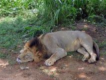 Leone di sonno in Sri Lanka Immagine Stock Libera da Diritti