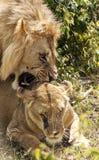 Leone di urlo della leonessa Immagine Stock