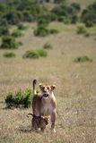 Leone e cubs Immagine Stock