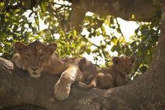 Leone e cucciolo rampicanti dell'albero immagini stock