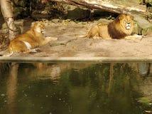 Leone e leonessa Immagini Stock