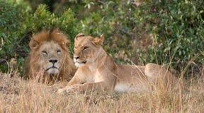 Leone e leonessa Fotografia Stock Libera da Diritti