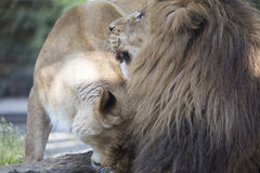 Leone e leonessa Fotografie Stock Libere da Diritti