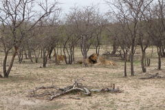 Leone e leonessa nella savanna - Sudafrica Fotografia Stock Libera da Diritti